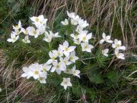 [:it]fiori[:en]mountain flowers[:de]fiori[:]