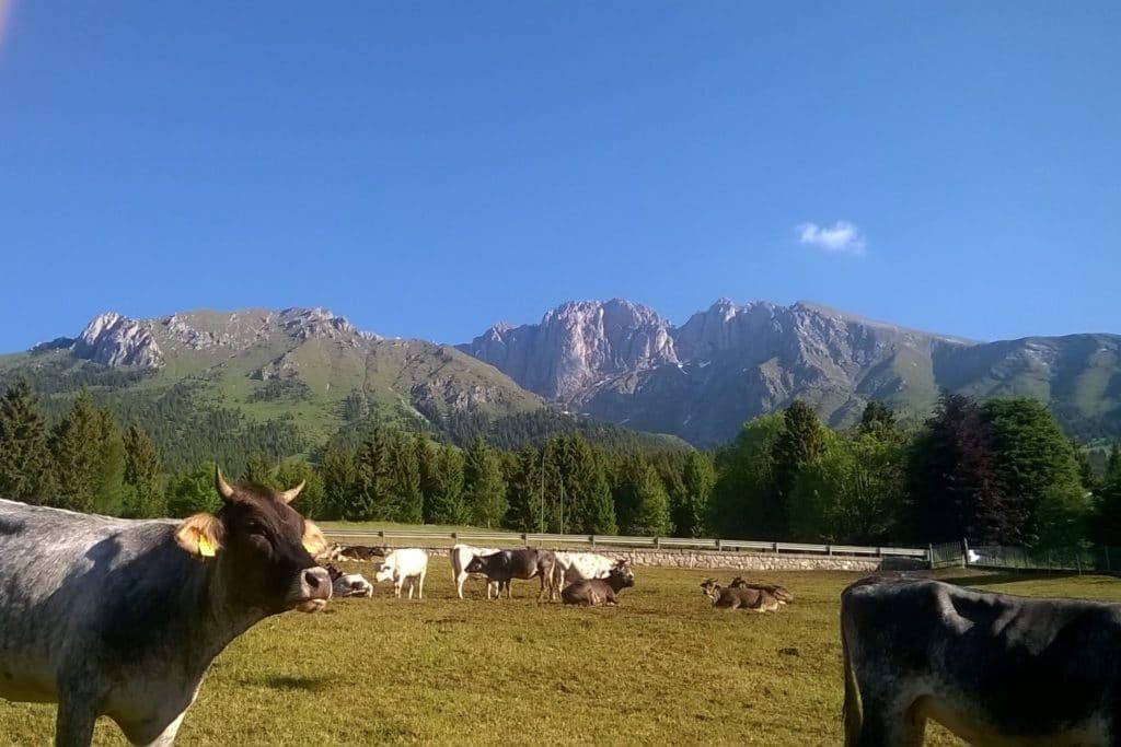 Mucche al pascolo di fronte all' Hotel Des Alpes Presolana